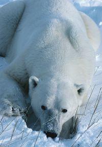 Polarbearr